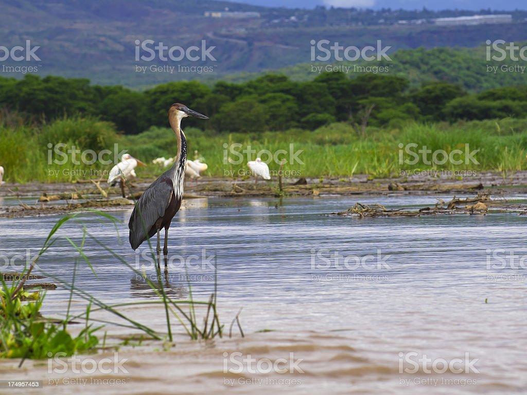 Heron at Chamo stock photo
