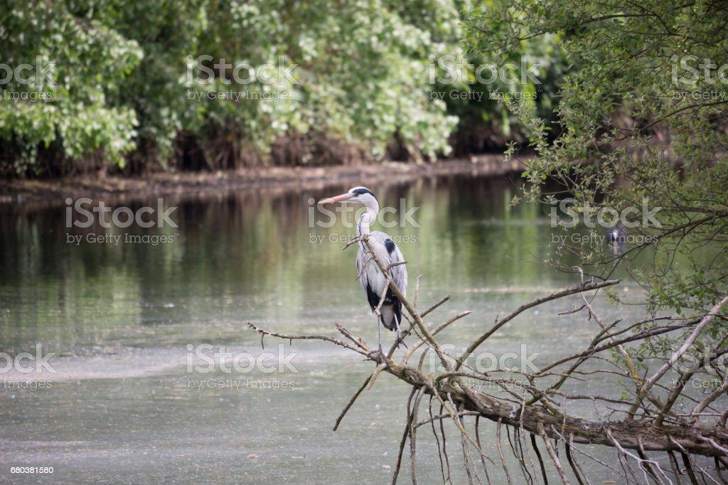 Heron Bird in the Wild stock photo