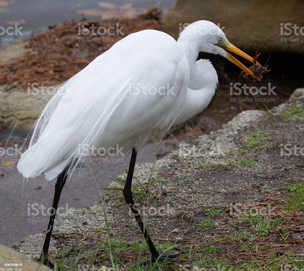 Heron Eating stock photo
