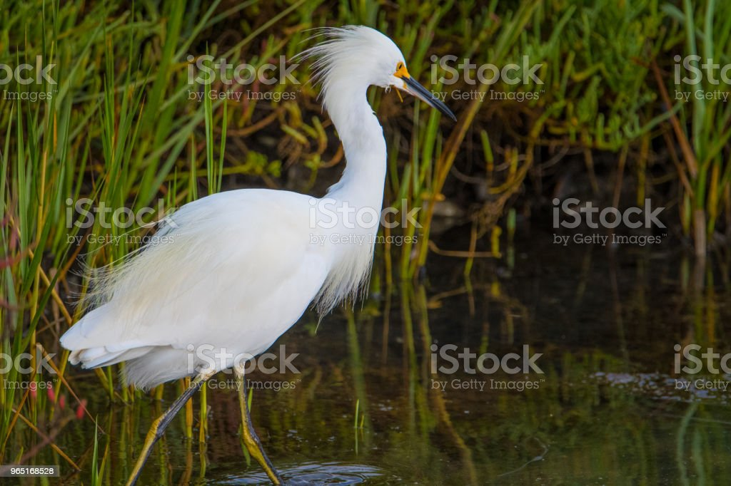 Heron Feeding royalty-free stock photo
