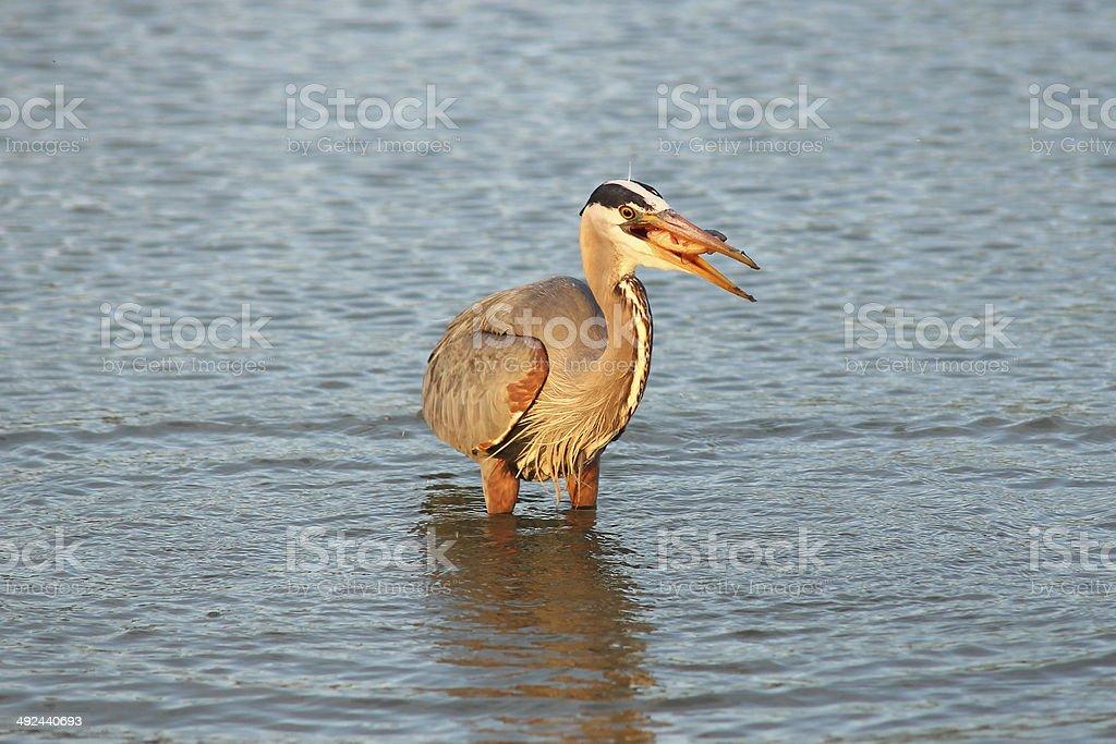 Heron fishing at dawn stock photo
