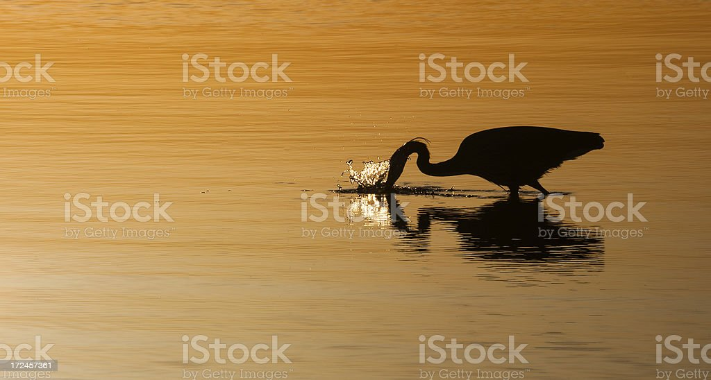 Heron Fishing royalty-free stock photo