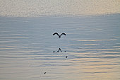 Heron Flying over water with beautiful reflection in nature