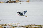 A Grey Heron (Ardea cinerea) gliding above a calm sea.