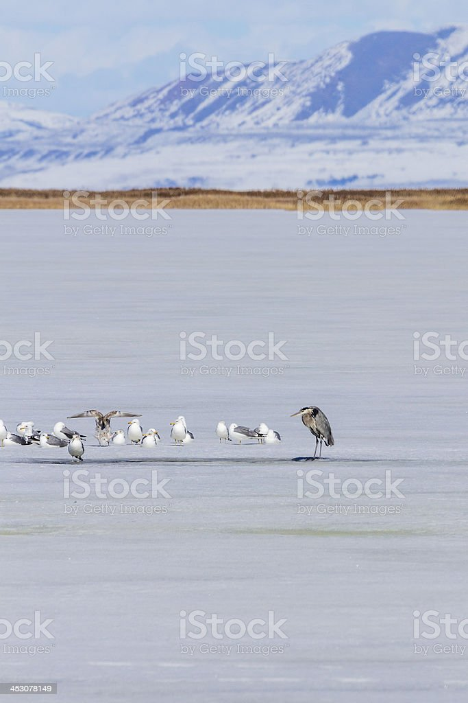 Heron guarding a fishing hole stock photo