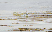 A Grey Heron (Ardea cinerea) searching for fish in a mud-filled tidal estuary