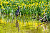 Heron in Stanley Park with flowers, Vancouver, Canada
