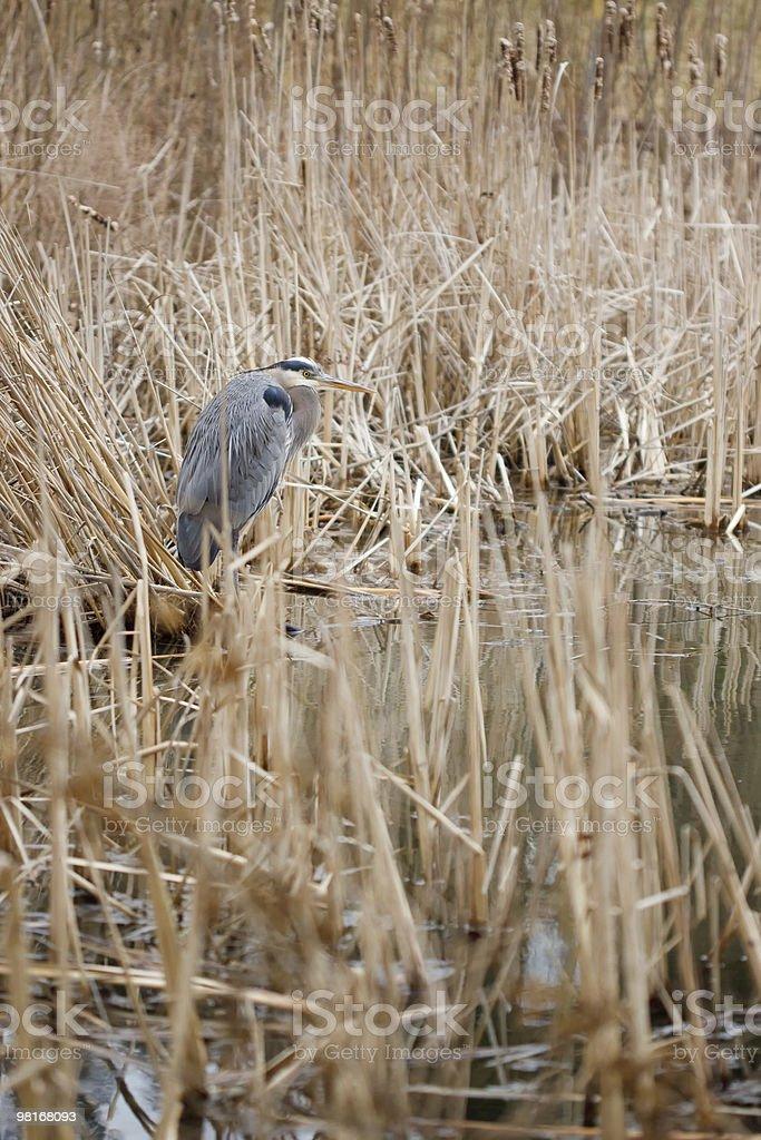 왜가리류 있는 Reeds royalty-free 스톡 사진