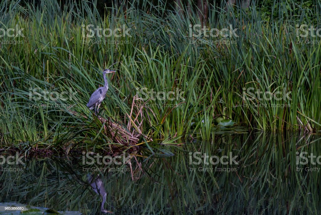 A heron in the reeds, reflected in the water zbiór zdjęć royalty-free
