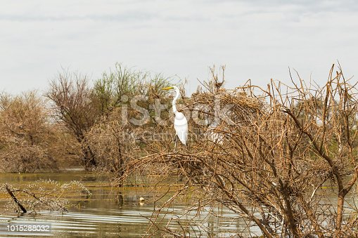 Heron in the thickets on the lake. Lake Baringo, Kenya
