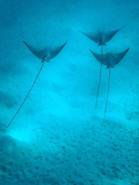 heron island / heron reef - eagle rays in harbour - great barrier reef marine park stock pictures, royalty-free photos & images