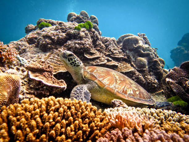 heron island / heron reef - hawksbill turtle at bluepools - great barrier reef marine park stock pictures, royalty-free photos & images