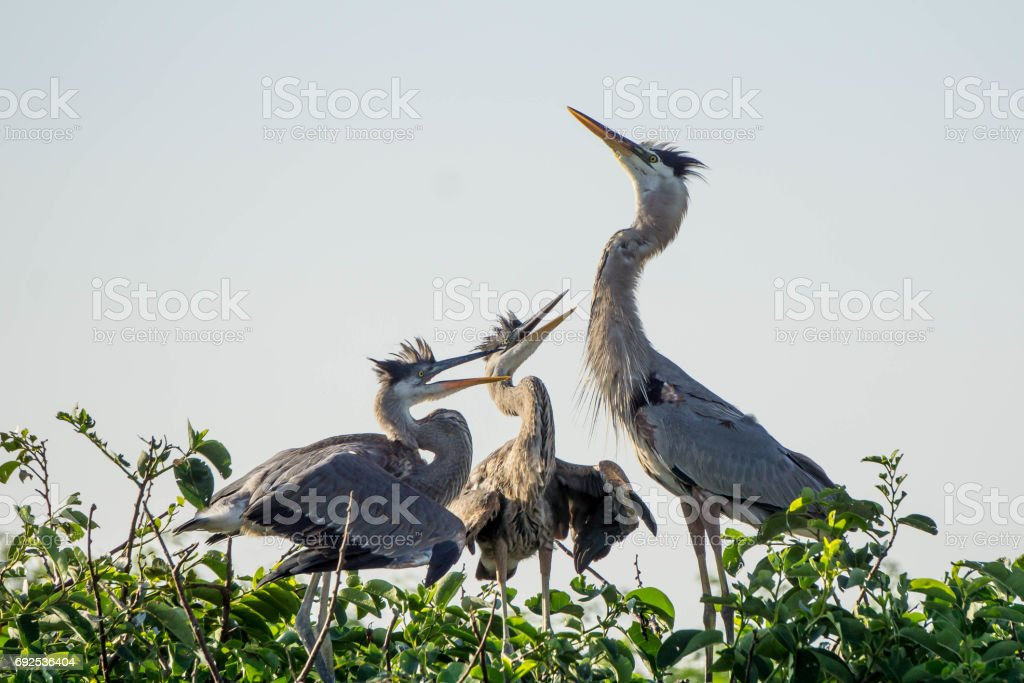 Heron Mother stock photo