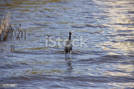 A heron hunts for small fish in the shallows off Daytona Beach in Florida. Copy space all around