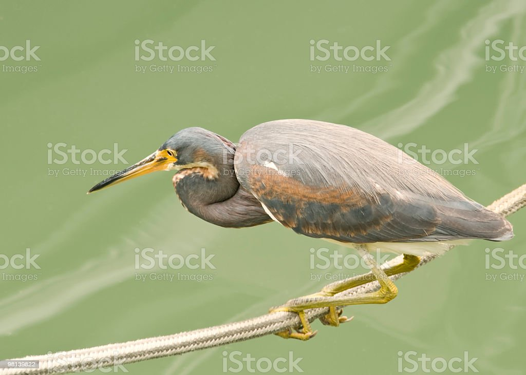 Heron on a tightrope stock photo