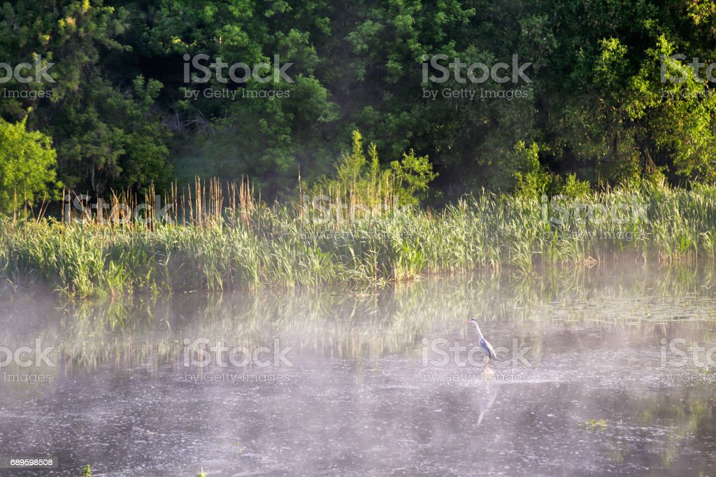 Heron on misty morning on the river stock photo