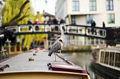 Heron or ardea cinerea on the roof of a boat in Little Venice, Camden town, London, UK