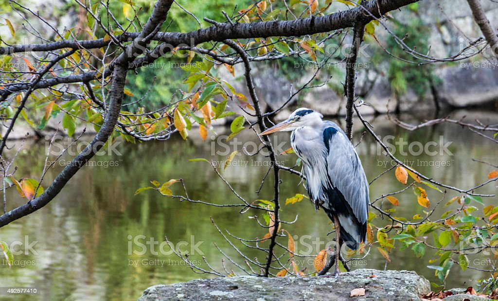 A tall stock or heron or crane bird with a lake in the background.