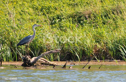 Heron sits on a fallen tree on the shore of a lake