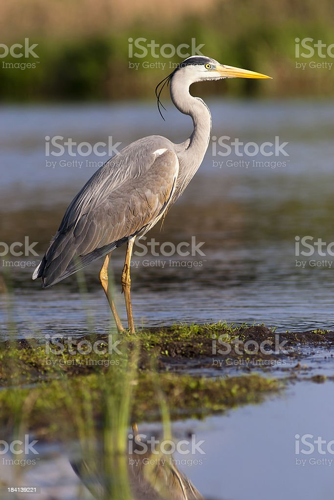 Heron stock photo