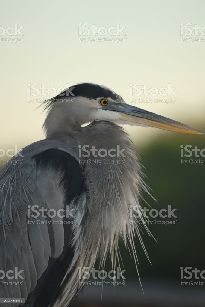 Heron Portrait stock photo