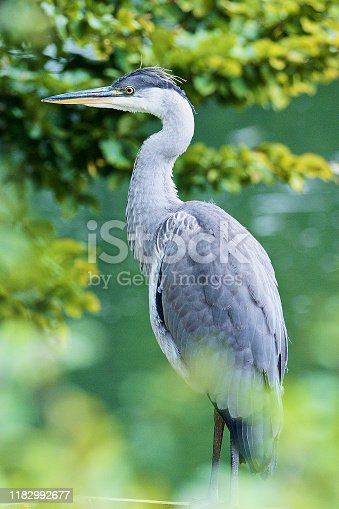 A Grey Heron (Ardea cinerea) rests on a lakeside pontoon