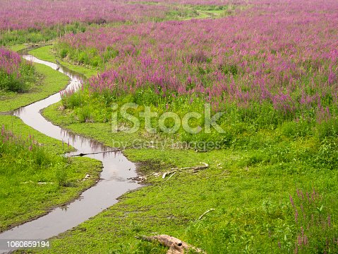 Great blue heron standing in a meandering stream in a field of lavender