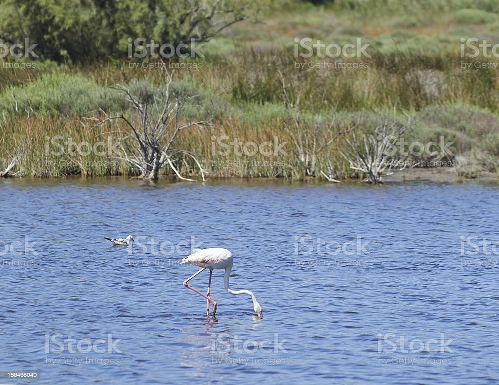 Heron standing over the pond - Summer View royalty-free stock photo