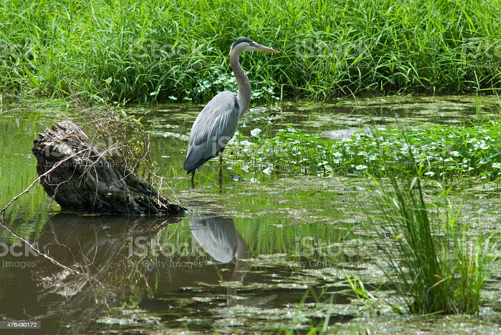 Heron surveys the marsh stock photo