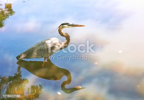 Heron wading for fish in a Georgia pond.