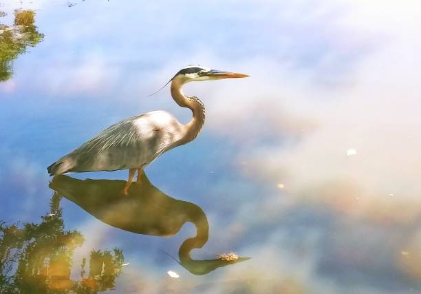Heron Wading For Fish Heron wading for fish in a Georgia pond. wading stock pictures, royalty-free photos & images