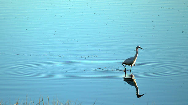 Heron, walking on water Heron looking for some dinner. neilliebert stock pictures, royalty-free photos & images
