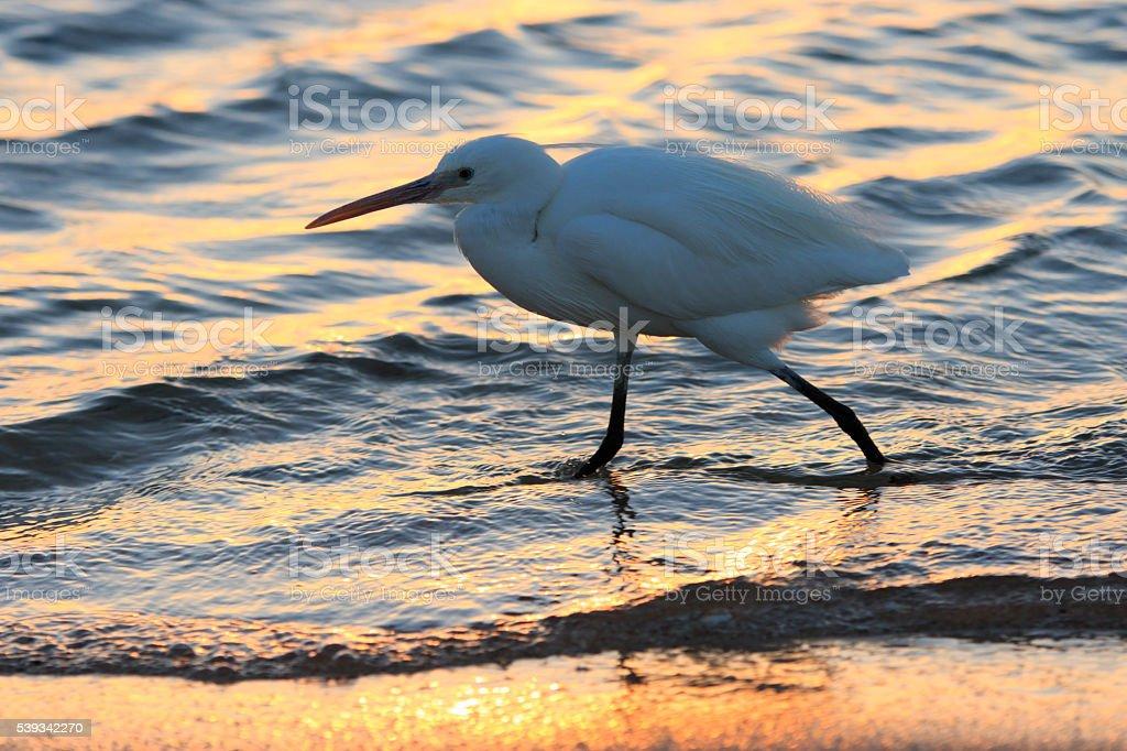 Heron Walks Iridescent Water stock photo