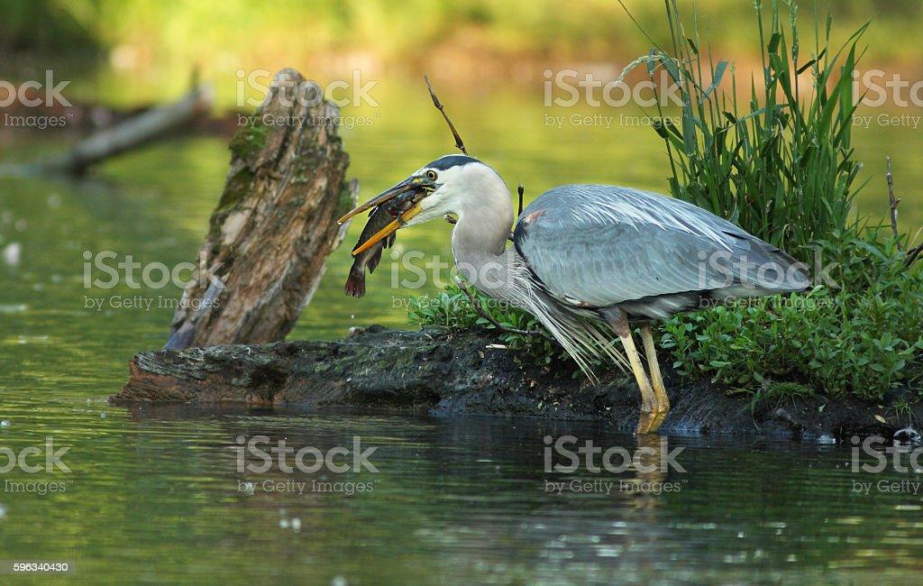Heron with  brown bullhead fish royalty-free stock photo
