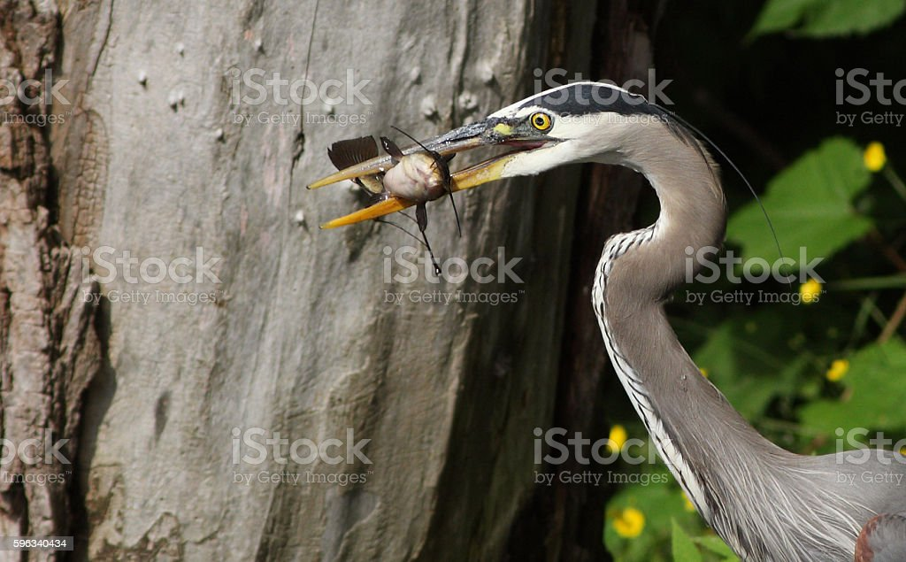 Heron with  brown bullhead fish Lizenzfreies stock-foto