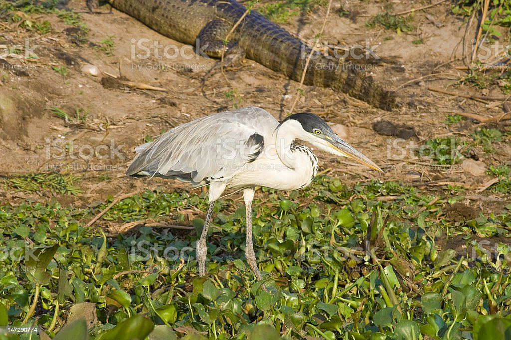 Heron With Caiman In The Background royalty-free stock photo