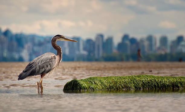 Heron With Log And Vancouver Skyline stock photo