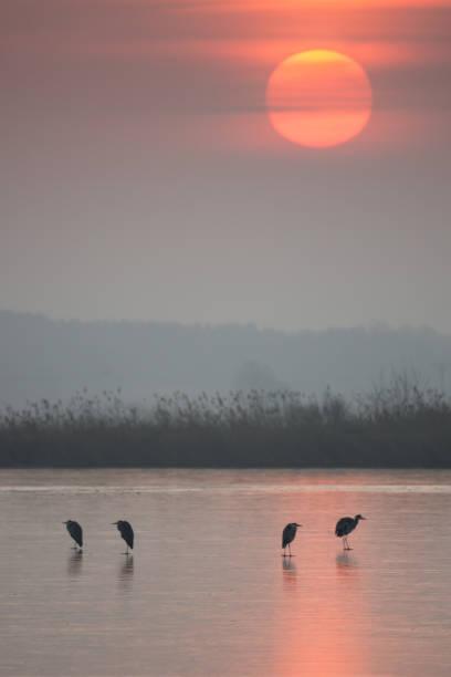 Czaple przy wschodzie słońca – zdjęcie