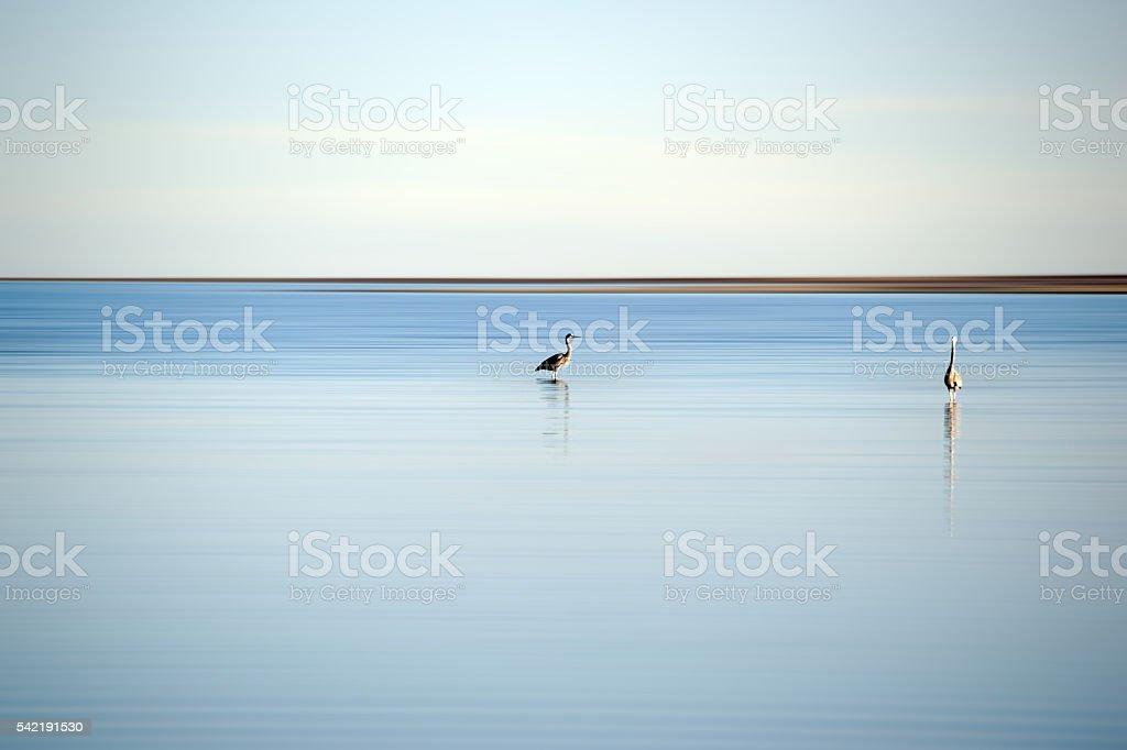 Herons at the Salton Sea stock photo