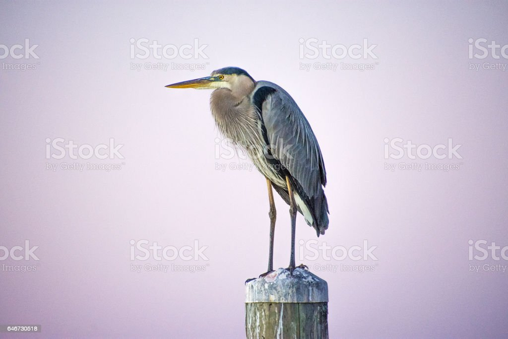 Heron's resting post stock photo