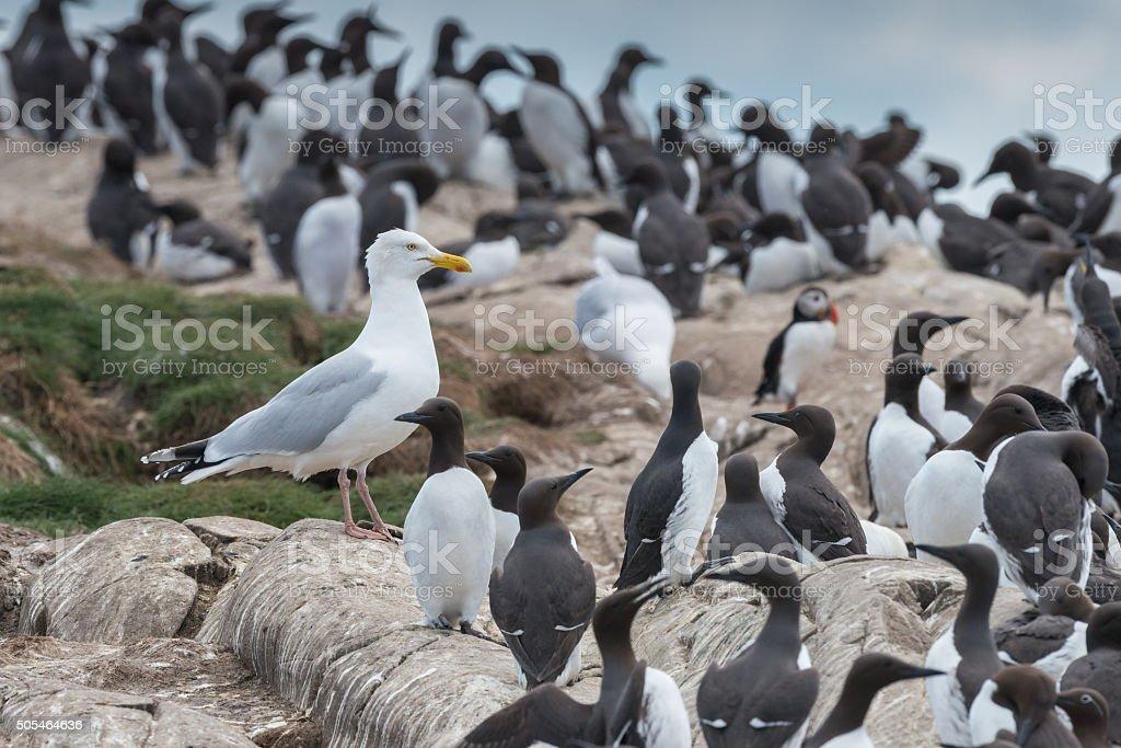 Herring gull amongst guillemots stock photo