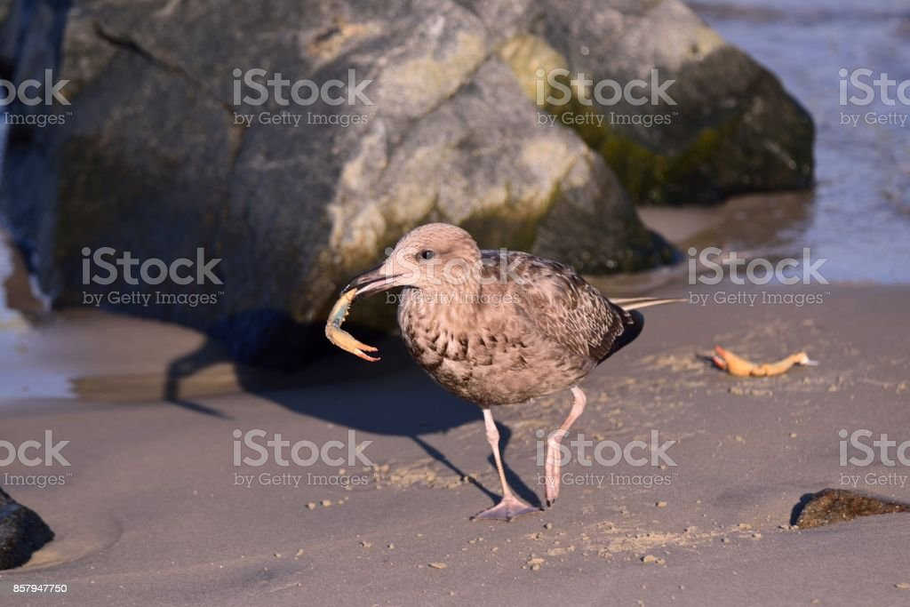 Herring Gull and Crab Leg stock photo