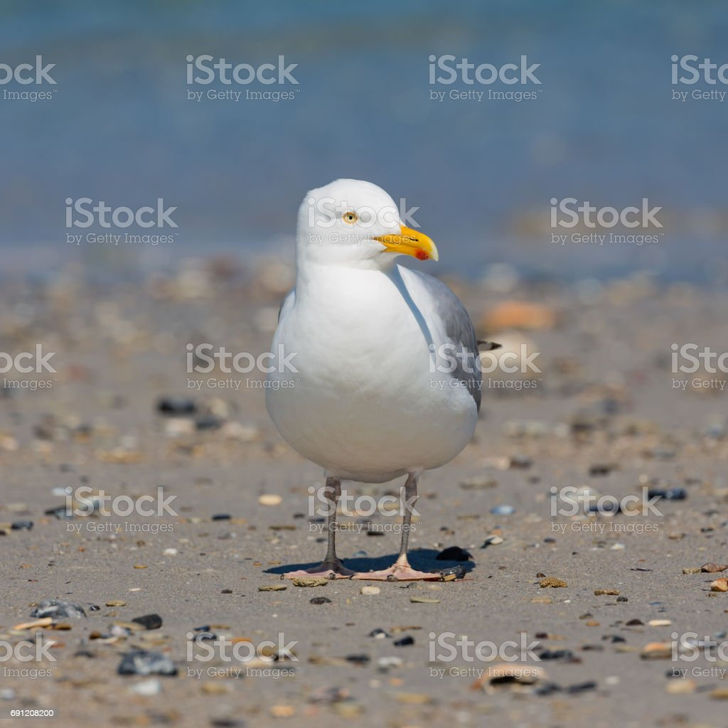 Herring gull at beach of German island Dune near Helgoland stock photo