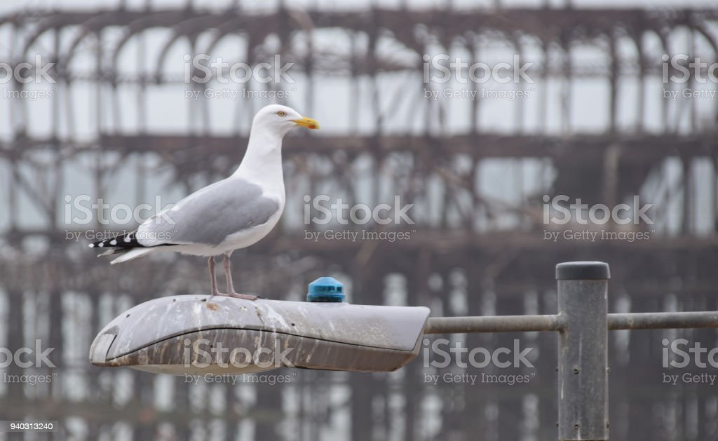 A Herring Gull atop a lampost in front of the ruined West Pier in Brighton stock photo