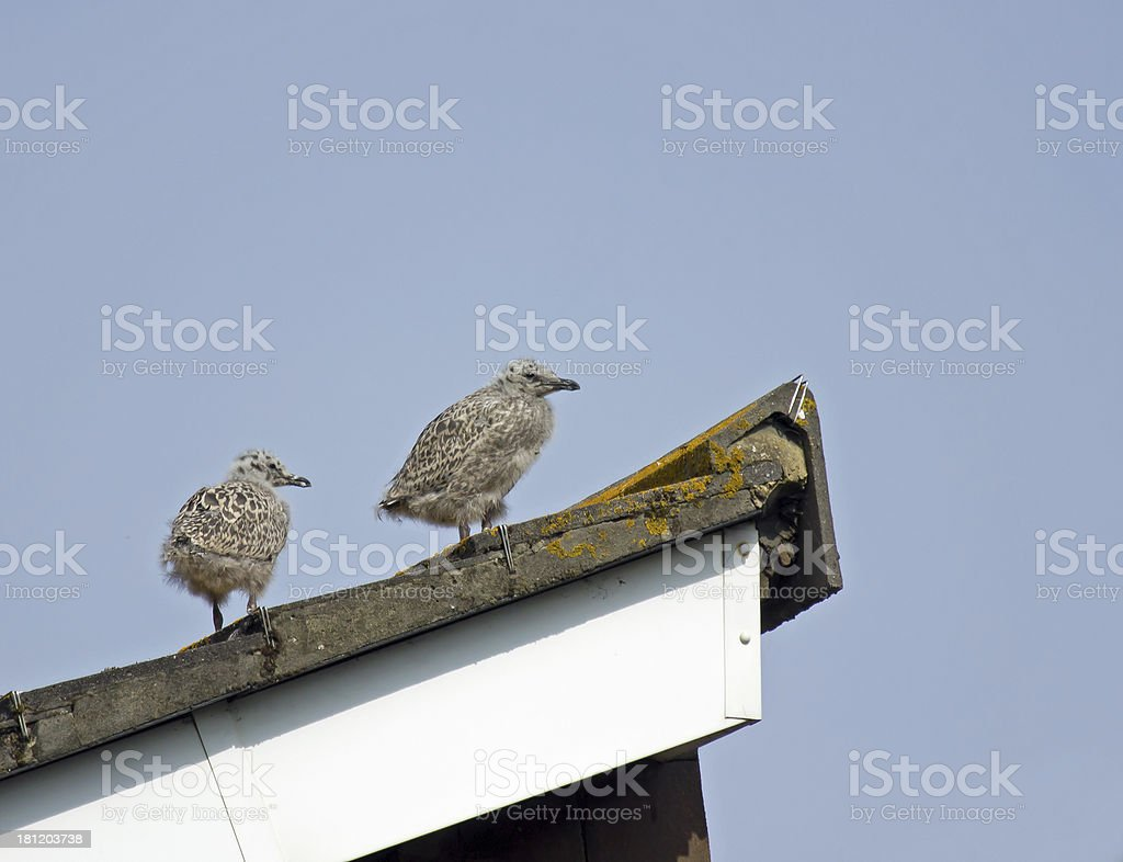 Herring Gull Chicks royalty-free stock photo