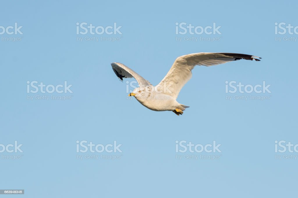 Herring Gull flight stock photo