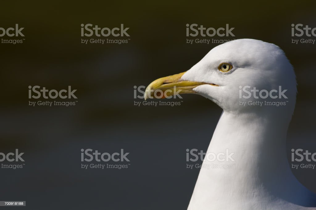 Herring gull (Larus argentatus) head in close up profile with copy space. stock photo