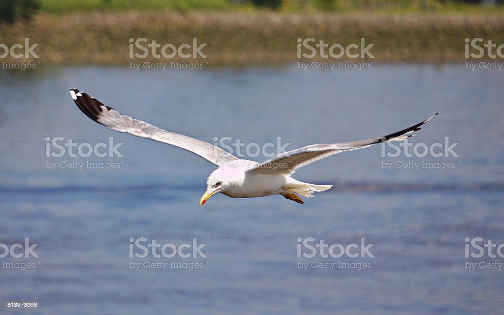 Herring gull in flight with wings spread stock photo