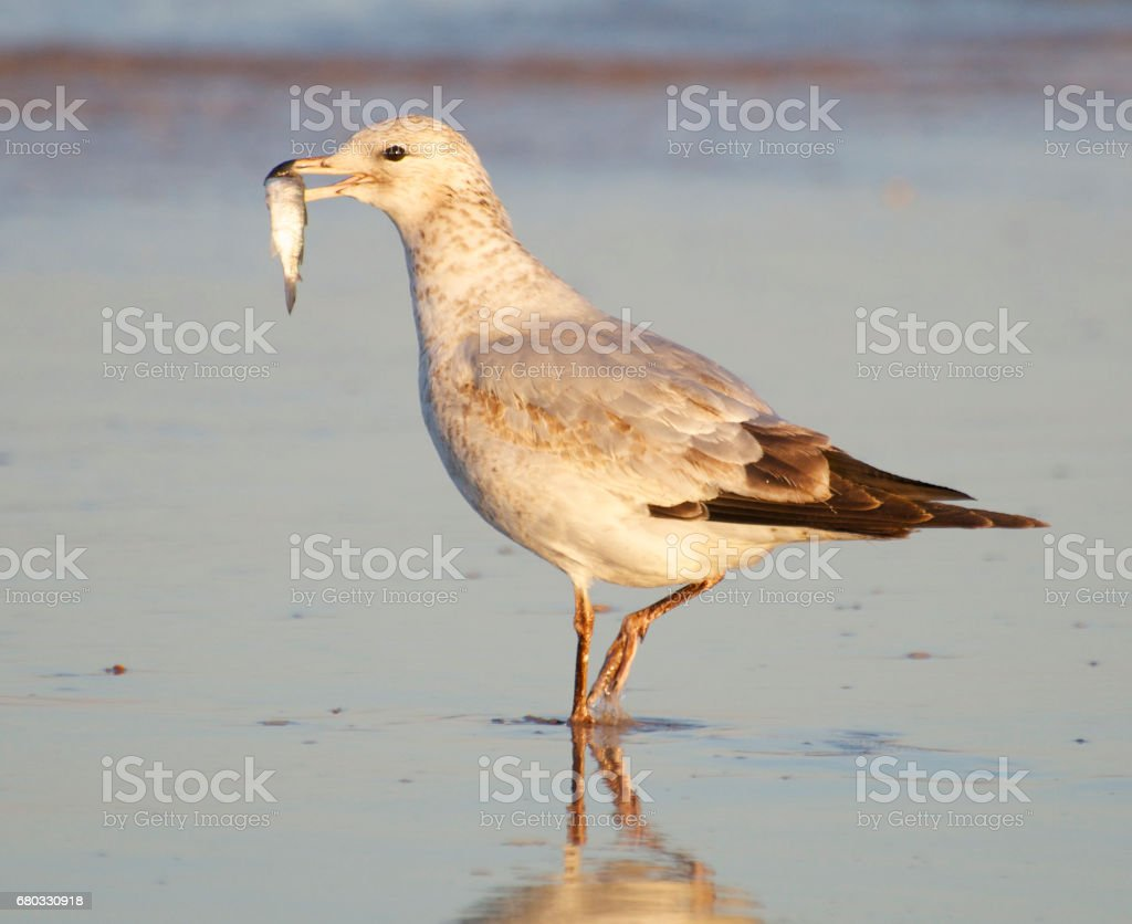 Herring Gull, Larus delawarensis argentatus stock photo