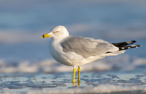 Herring Gull, Larus delawarensis argentatus stock photo